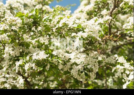 abundant Hawthorn Spring blossom on mature tree Crategus monogyna - Stock Photo