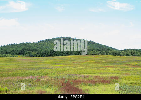 Wild Maine Blueberry Barren - Stock Photo