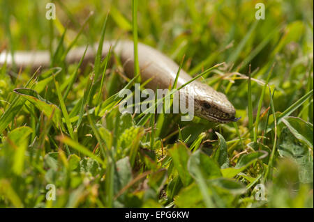 Mature adult slow worm that has in the past shed its tail making its way through lawn meadow grass and daisy flowers - Stock Photo