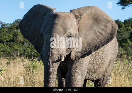 South Africa, Eastern Cape, East London. Inkwenkwezi Game Reserve. African elephant (Wild: Loxodonta africana) Stock Photo