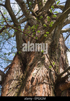 Dawn redwood, metasequoia glyptostroboides, tree trunk branches and young leaves in springtime, botanical garden - Stock Photo