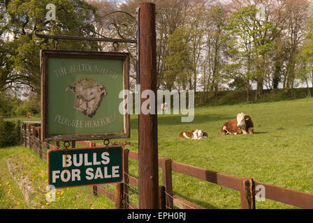 Bulls in a field and Bulls For Sale sign, Hampshire, UK. - Stock Photo