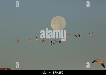 snow geese flying in front of full moon - Stock Photo
