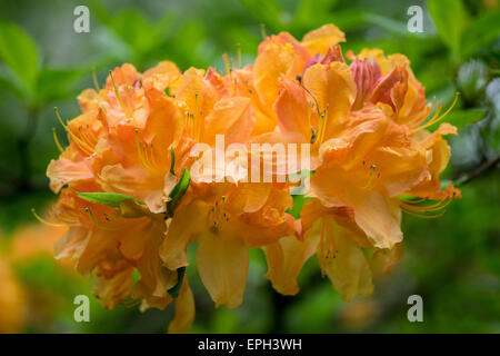 rhododendron wren stock photo 17634167 alamy. Black Bedroom Furniture Sets. Home Design Ideas
