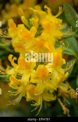 Rhododendron luteum azalea yellow flowers - Stock Photo