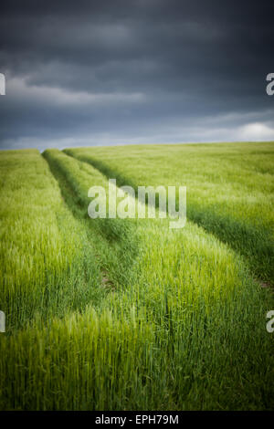 Tractor lines through a young fresh green crop in a farmer's field under a stormy sky in Northumberland, England - Stock Photo
