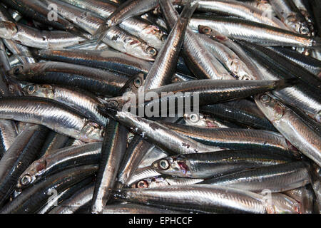 anchovies, acciughe just fished in ligurian sea - Stock Photo