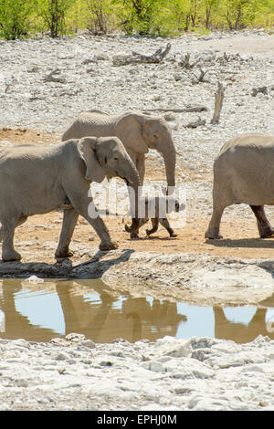 Africa, Namibia. Etosha National Park. Group of elephants walking near waterhole. - Stock Photo