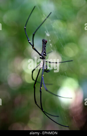 Giant Golden Silk Orb Weaver Spider (Nephila pilipes) in tropical rain forest - Stock Photo