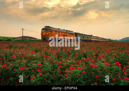 A train cross a rose field in Shishan town in Foshan, Guangdong province, China on 16th May 2015. - Stock Photo
