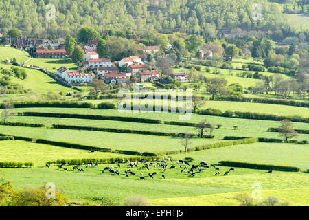 Cattle Grazing in Danby Dale south from Castleton in May 2015 - Stock Photo