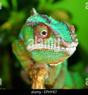 panther chameleon(furcifer pardalis) - Stock Photo