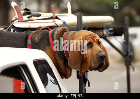 red dog in car - Stock Photo