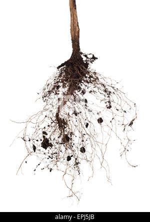 tree root - Stock Photo