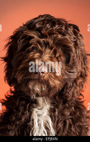 Cockerpoo cross bred dog (Spaniel cross poodle) - Stock Photo