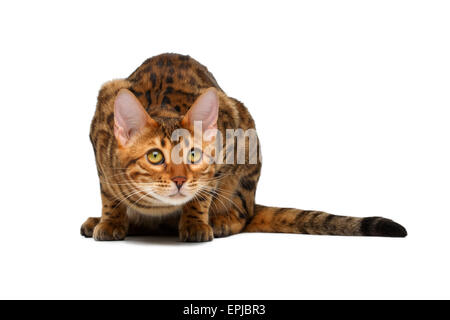 bengal cat  crouched - Stock Photo