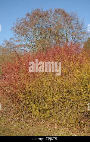 Siberian dogwood and golden twig - Stock Photo