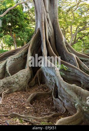 Moreton Bay Fig Tree Roots Stock Photo, Royalty Free Image ...