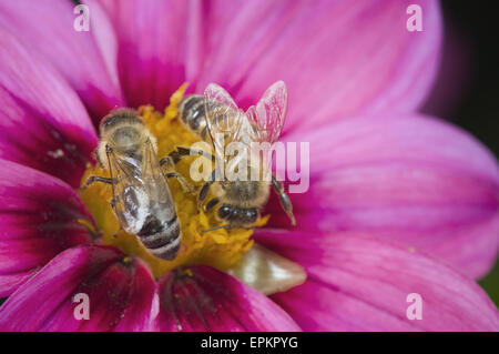 two bees opposed - Stock Photo