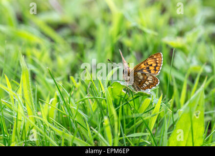 Duke of Burgundy butterfly (Hamearis lucina). Underside of an adult perching on the leaf of a cowslip, the larval - Stock Photo