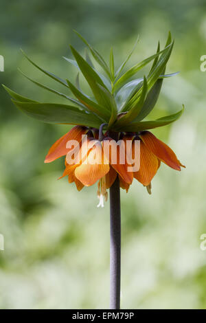 Fritillaria imperialis - Stock Photo