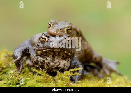 Common toads, Bufo bufo, mating - Stock Photo