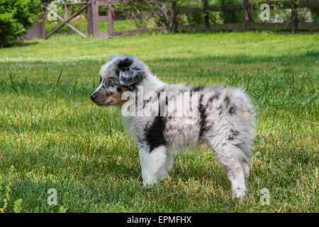 Australian Shepherd puppies are agile, energetic and mature into valued herding dogs and loyal companions who want to please.