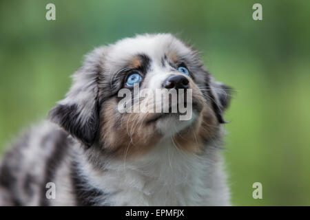 Australian Shepherd puppies are agile, energetic and mature into valued herding dogs and loyal companions who want - Stock Photo