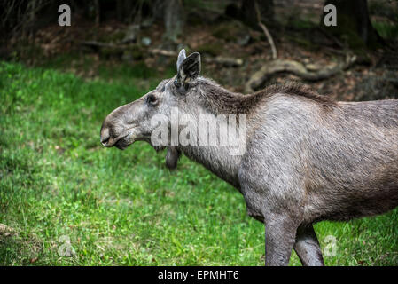Moose (Alces alces) close up portrait of female / cow at forest edge - Stock Photo