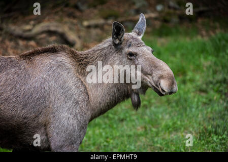 Close up portrait of Moose (Alces alces) female / cow at forest edge - Stock Photo