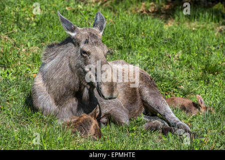 Moose (Alces alces) female / cow with two calves resting in grassland at forest edge - Stock Photo