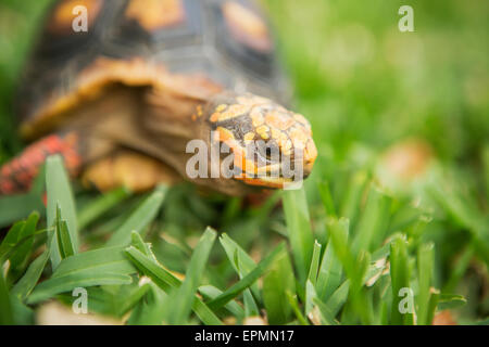 A small turtle or terrapin moving across grass. - Stock Photo