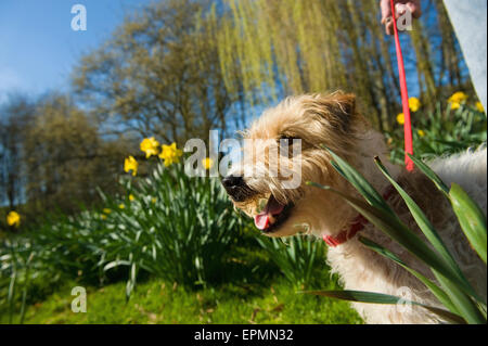 A woman and a small dog in a garden with trees in fresh leaf, and daffodils flowering. - Stock Photo