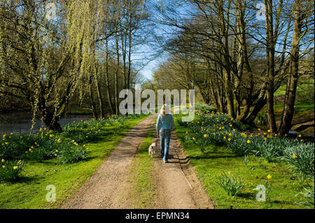 A woman and a small dog walking down a path through trees in fresh leaf. - Stock Photo
