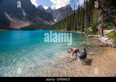 Two dogs playing in the water of Lake Louise near Banff Alberta on a sunny summer afternoon - Stock Photo