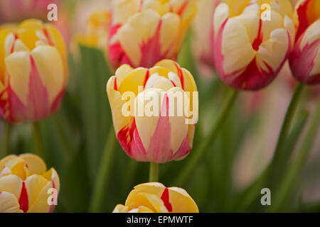 Tulips on display at the Chelsea Flower Show 2015 - Stock Photo
