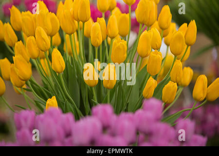 Yellow and pink Tulips on display at the Chelsea Flower Show 2015 - Stock Photo