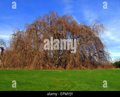 A huge old Weeping Beech Tree - Stock Photo