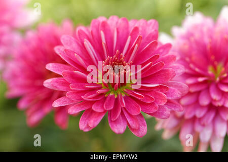 Beautiful red pink decorative dahlia flower from garden close up macro bloom - Stock Photo