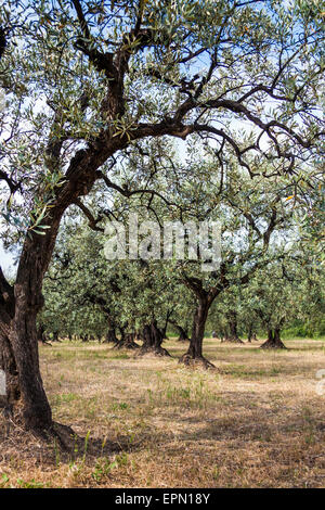 Old olive tree and blue sky in Provence, South of France - Stock Photo
