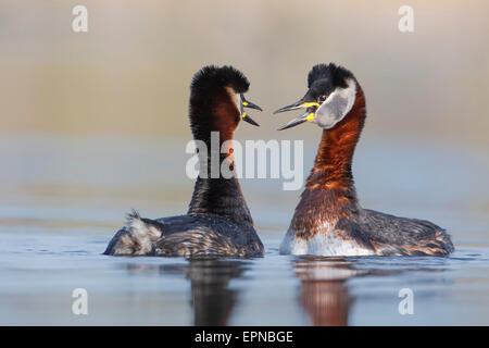 Red-necked Grebes (Podiceps grisegena), male and female, pair, courtship, breeding plumage, Mittelelbe biosphere - Stock Photo