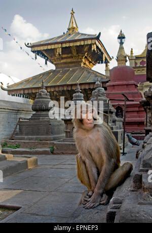 Rhesus Macaque monkey , Swayambunath Temple, Kathmandu,Nepal. - Stock Photo