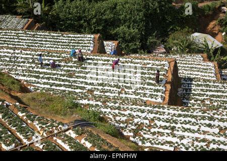 Vegetable farming, Nuwara Eliya, Central Province, Sri Lanka - Stock Photo