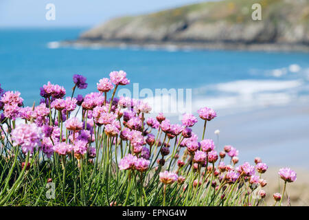Sea Pink or Thrift flowers growing beside coast path above beach in early summer. Church Bay Anglesey North Wales - Stock Photo