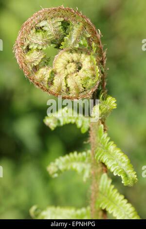 Spiral Fern Frond - Stock Photo