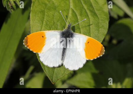 Orange Tip Anthocharis cardamines - male - Stock Photo