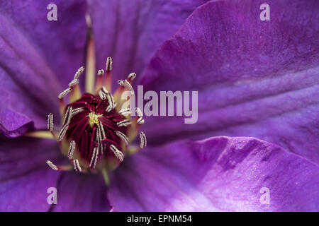 Closed up of Purple Clematis - Stock Photo