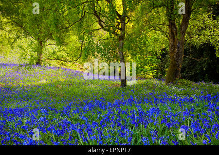 Sea of bluebells Hyacinthoides non-scripta in full May bloom in countryside near Lea in the Peak District Derbyshire - Stock Photo