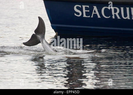 Bottlenose dolphin (Tursiops truncatus) diving alongside a dolphin watching boat, Moray Firth, Scotland, UK - Stock Photo