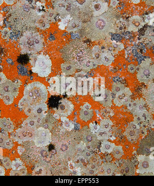 Colonies of crustose lichens growing on rocks in the Southern Alps of South Island New Zealand - Stock Photo